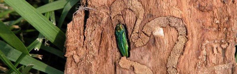 emerald ash borer 1
