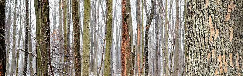 20190327-martins-tree-blog-images-extreme-cold-will-not-get-rid-of-emerald-ash-borer_orig