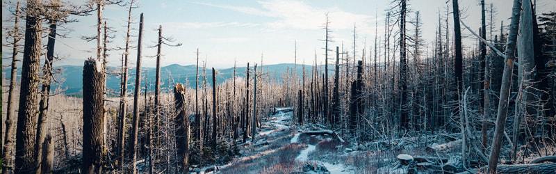 Dormant or Dead Tree