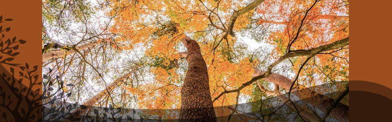 Maple tree pruning services