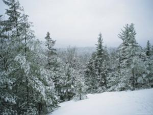 Evergreen Tree in Winter