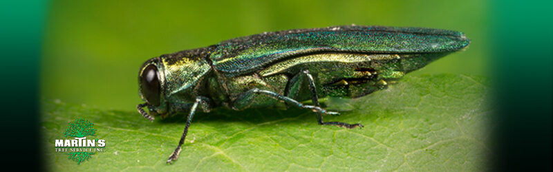 Will Winter Weather Help Protect Trees From Emerald Ash Borer
