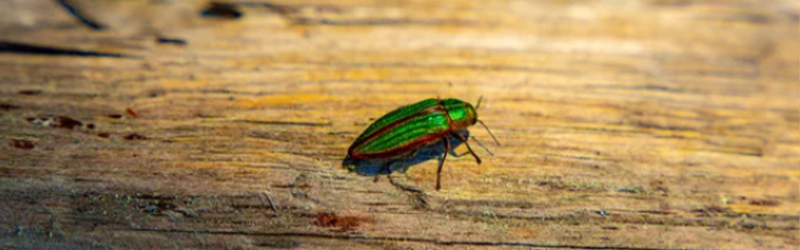 When Did The Emerald Ash Borer Become A Problem In Ontario?